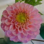 Dhalia Bloom Mrs L Lockhart - DSC03055
