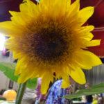Sunflower - Leigh Arnold - DSC02953